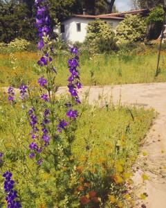 Spring wildflowers at Rancho La Puerta